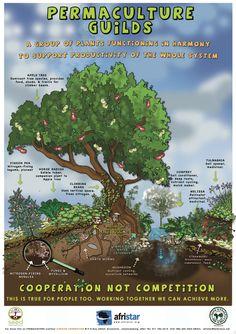 http://permacultureglobal.com/system/post_images/17/original/Permaculture%20Guilds%20FTFA.jpg?1296661920