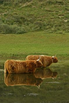 Scottish Highland Cows.  Sure do love these cows!!!  ........Scotland