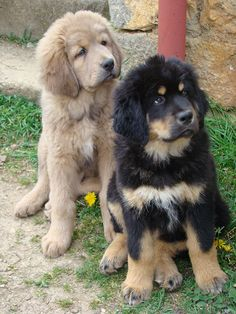 Tibetan Mastiff puppies :)