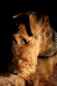 Airedale photographic portrait - at http://500px.com/photo/6773809/dog-waiting-by-daniel-fleischer dog wait, airedal terrier, puppi, airedale terrier