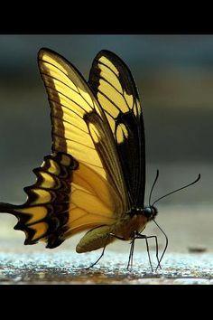 beautiful! beauti butterfli, android, butterflies, beauty, yellow, insect, walk, moth, black