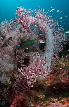 Soft Coral /Parrotfi