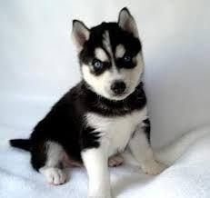 filhote de cachorro husky siberiano