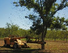 PECANS Farmers use shaker to remove the nuts from the tree.