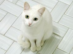 http://wildforest.webs.com/cat-picture-white-green-eyes-renedepaula-cat.jpg