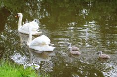 Tracey Blackwell at Croome spotted this swan family day out this week.