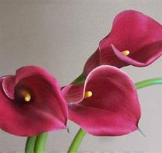 pink-red callas