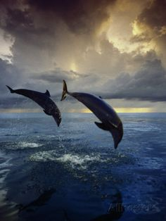 Bottlenose Dolphins, Tursiops Truncatus Photographic Print by Stuart Westmorland at AllPosters.com