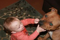 """So... this is for all you *Pitbull haters* out there.  ;)  This is my """"killer"""" rednose Pit, as my 13mo old child was digging treats out of her mouth so he can eat them himself. LoL"""