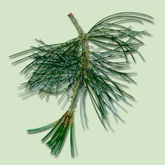 Elegantly conical white pine Christmas trees have long, flexible needles and minimal fragrance. More of a tinsel-and-lights tree; soft needles can cause ornaments to slip. | Photo: Nature Photographers Ltd./Alamy | thisoldhouse.com