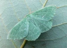 A Green Moth blends into the leaf ~ Photo by...?
