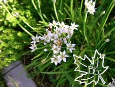 Garlic chives - I love the white flowers, and I love the milder, garlic-flavored chives. Definitely a must in my edible front yard.