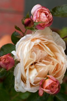 Heirloom roses