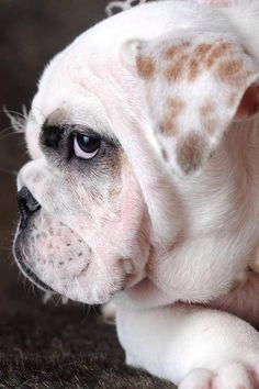 anim, bulldog puppies, puppy face, pet, english bulldogs, baby dogs, ador, babi bulldog, puppy eyes