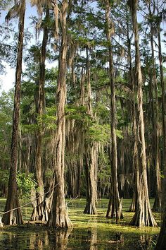 Cypress Trees Cloaked in Spanish Moss in the Big Cypress Bayou near Karnack, Texas.
