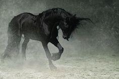 beauti hors, song, animals, dressage, dreams, friesian hors, black horses, storm, beauti friesian