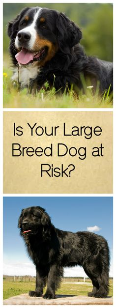 Your Large Breed Dog