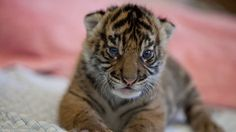 Sumatran tiger cub makes debut at Point Defiance Zoo Tacoma Wa.