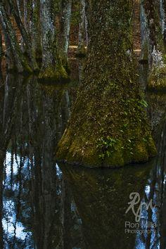 Cypress Tree & Bayou
