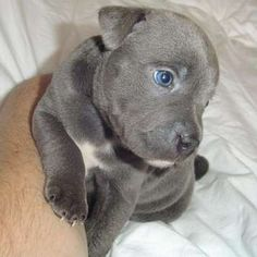 blue staffy