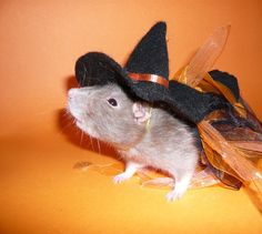 I'm ready for my treat!   #Rat #Costume #Halloween   Vote for the Best Pet Halloween Costume in Marin - San Anselmo-Fairfax, CA Patch