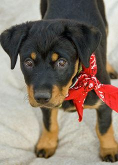 border terrier rottweiler mix - Google Search