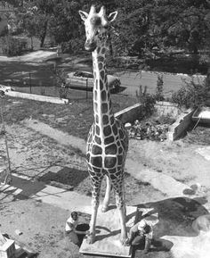 In 1963, before the old Indianapolis Zoo had any real giraffes, George the fiberglass giraffe was donated to the Zoo by L.S. Ayres Dept. Store. Star/News archives