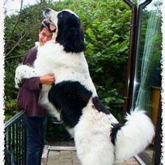 Newfoundland Dog!!! MUST HAVE!