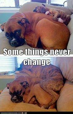 3 months, anim, die hard, pet, boxer puppies, growing up, boxers, dog, friend