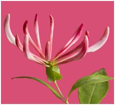 Honeysuckle Pink - Pantone's color of the year (2011)