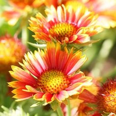 Blanket Flower        Blanket flower (gaillardia) is a drought- and heat-tolerant perennial wildflower that provides long-lasting color in a sunny border with poor soil. In red, gold, or brown, its daisy-like, 3-inch wide, single or double flowers bloom through the summer and into the fall. Although often short-lived, it is easy to grow and will flower the first year from seed.