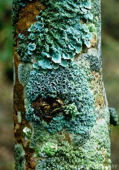 Lichen on a tree. Parmelia sulcata (upper frame, blueish-green) Rinodina roboris (centre, blue) ~ By Vaughan Fleming