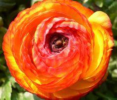 ** Persian Buttercup (Ranunculus Asiaticus) **