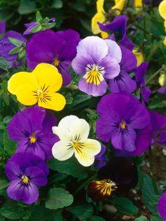 Violas! Someday I want an Alice in Wonderland garden!