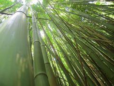 TWIN FALLS MAUI bamboo forest