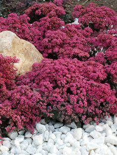 Perennial Results: Plant View - Sedum 'Dazzleberry' PP22457