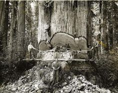 California lumberjacks working on Redwoods.   Dang!
