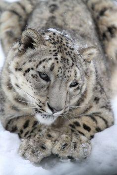 wild cat, big cat, snowleopard, anim, mark dumont, natur, leopards, beauti, snow leopard