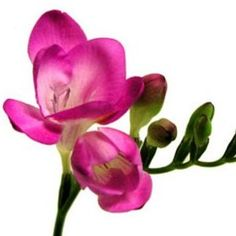Dark Pink freesia