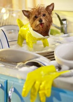 Just in case you're having a bad day, here's a tiny dog wearing a dish glove.