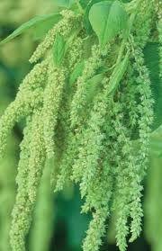 Green hanging amarynthus