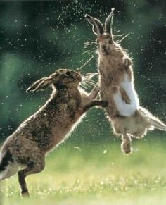 Lovely March hares ... not silly old rabbits!