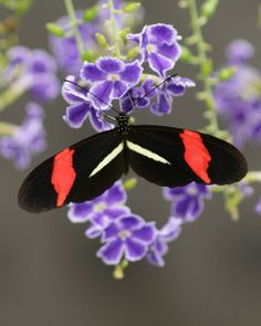 Longwing - black, red and white