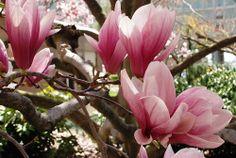 The saucer magnolias in bloom in the Haupt Garden.