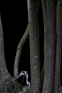 Wildwoods - Richard Packwood, from Powys, Wales, for 'badger in the woods' Picture: Richard Packwood/British Wildlife Photography Awards 2013