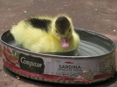 One of my favorite pictures I took in Ollantaytambo, Peru- A duckling in an empty can of sardines. - Imgur