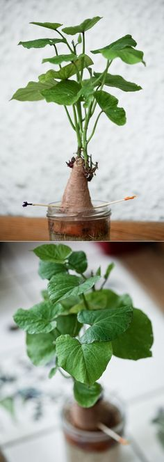 Alternative Gardning: Growing Sweet Potato in Water
