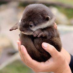 Baby otter.  Ummmmmmm CUTEST ANIMAL EVER.  (Except for pandas.)