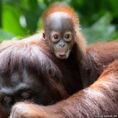 Bornean orangutan Veera poses for the cameras. The six-week-old is the 40th addition to Singapore Zoo's colony.