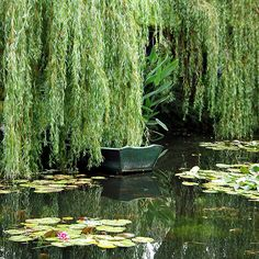 pond and weeping willow trees